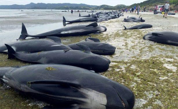 Cientos de ballenas mueren varadas en una playa de Nueva Zelanda
