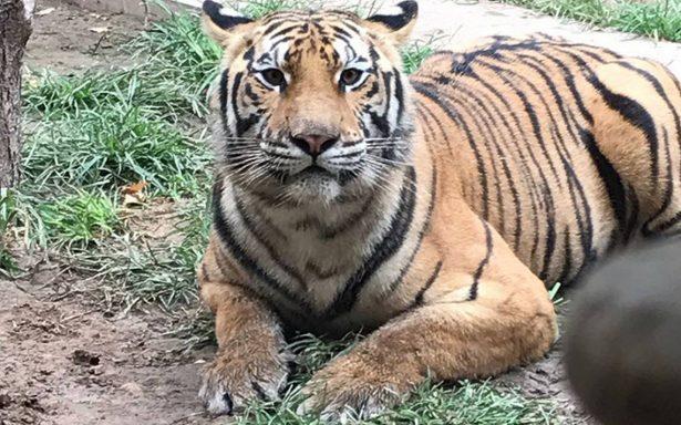 Aseguran 4 tigres y un cocodrilo tras cateo en vivienda