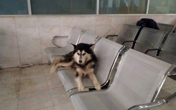 Un husky se vuelve viral tras esperar a su dueño desde hace 5 días en un hospital