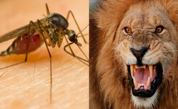 Mosquitos más mortales que leones, matan a 750 mil personas cada año