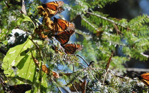 Anuncian foro para preservar mariposa monarca