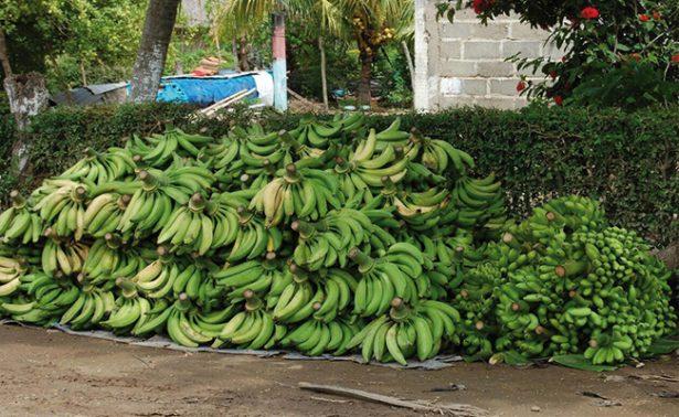 Cayó producción de banano en la frontera sur