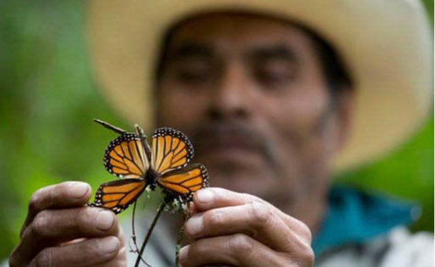 Disminuyen mariposas monarcas en México
