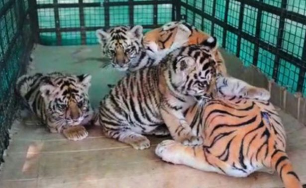 Mamá tigre de plástico salva a tres cachorros en la India