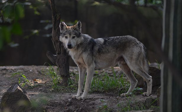 Nacen siete crías de Lobo Mexicano en zoológico de Ciudad de México
