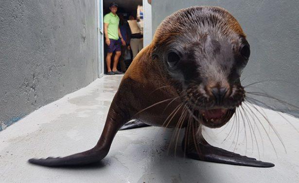 Trasladan a delfinario de BCS a lobo marino hallado en calles de Morelia