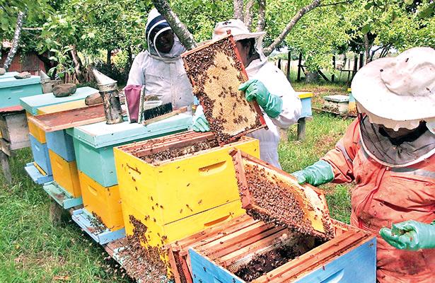 Afectaría siembra de transgénicos a producción de miel en la Entidad