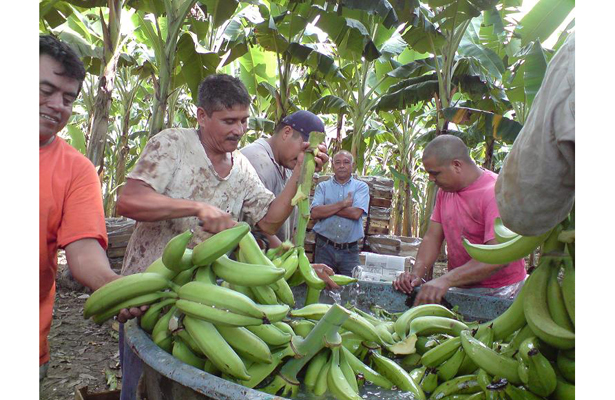 Afectaron bajas temperaturas producción de plátano