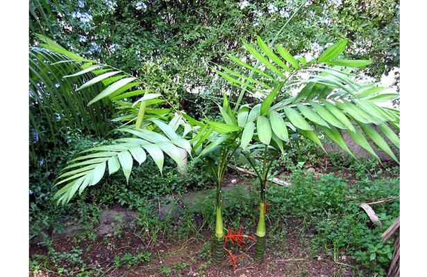 Caficultores prefieren cultivar palma