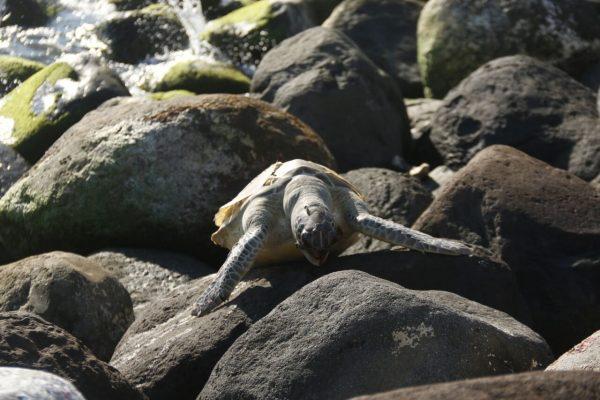 Encuentran dos tortugas muertas en playas de Veracruz-Boca del Río