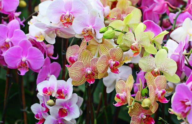 Del 8 al 16 de abril, Feria Nacional de la Orquídea en Coatepec