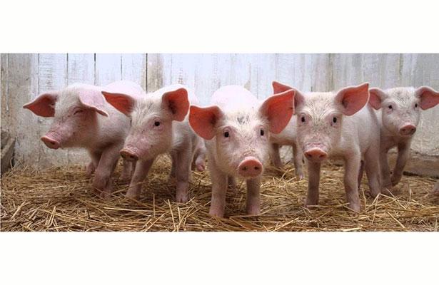 Porcicultores confían en volver a exportar carne de cerdo a EU