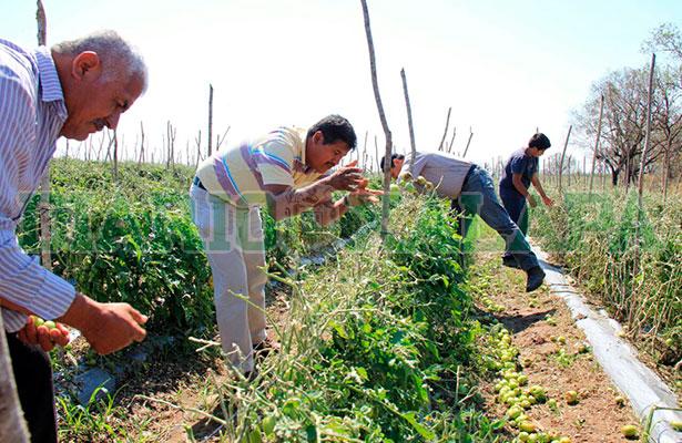 Veracruz es el principal productor del país: Sagarpa