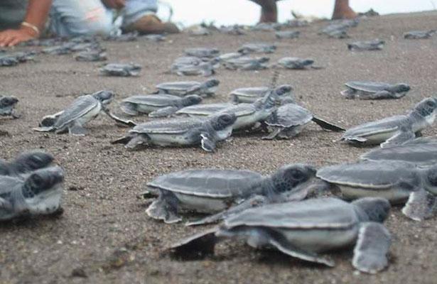 Liberación de tortugas en las playas de Tecolutla