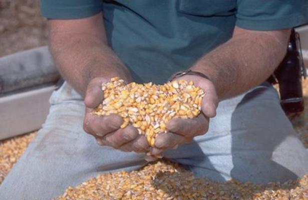 Preocupa a avicultores precio de maíz al renegociar TLC