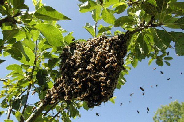 Ocho lesionados por picadura de abejas en colonia de Boca del Río