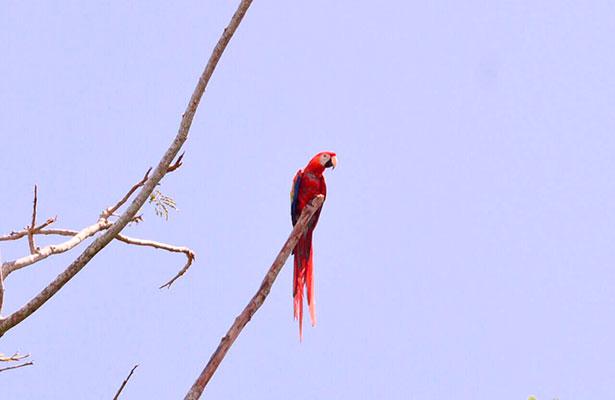 Por sexta ocasión liberan guacamayas rojas en Catemaco