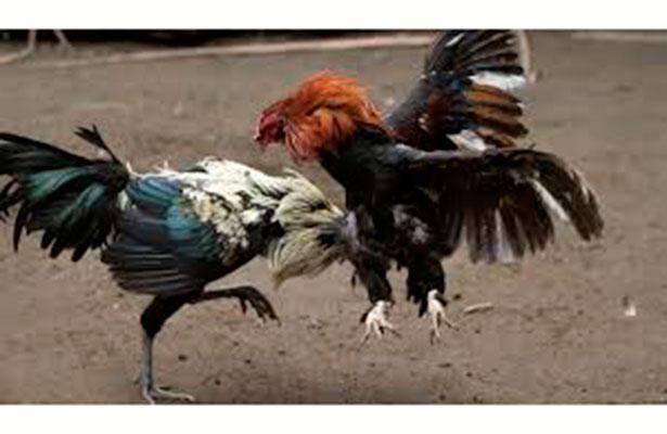 Protectoras de animales buscarán amparo contra ley que permite vaquilladas y peleas de gallos