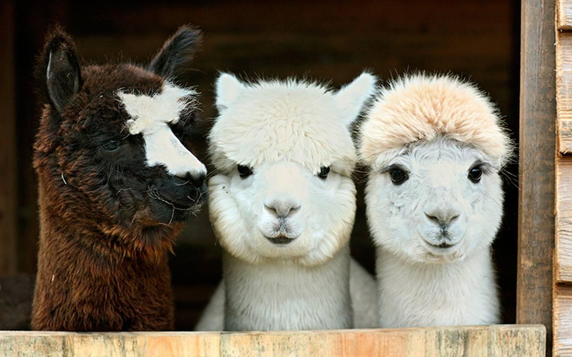 La alpaca: de los zoo a la mascota de moda en Europa