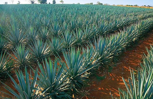 Tres de cada diez consumidores de bebidas destiladas toman tequila