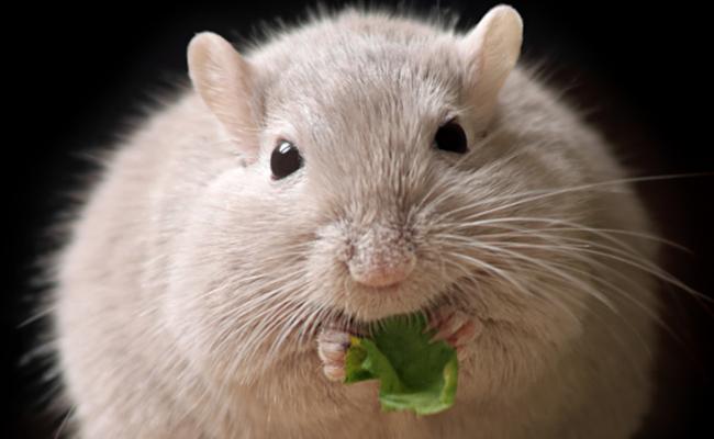 ¡Entérate! Revelan que cafeína ayuda a adelgazar a ratones gorditos
