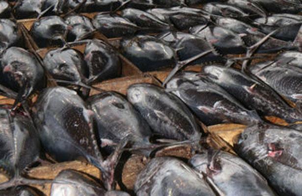 Dan 636 mil dólares por atún de 212 kilos, en Tokio