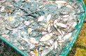 """""""Lavan"""" un lago con químicos en Jalisco y matan a cientos de peces"""