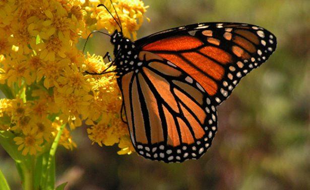 ¡Mariposas Monarca a salvo! Disminuye degradación forestal 78.1% en su hábitat