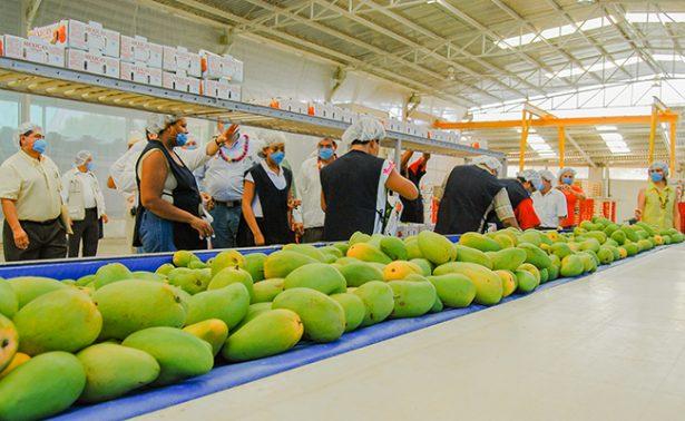 Incrementa la producción de mango mexicano 36 % en tres años; se exporta a 27 países