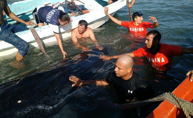 Pescadores hallan ballena varada en playa de Veracruz
