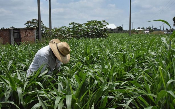 Pulgón amarillo afecta parcelas de sorgo en Irapuato