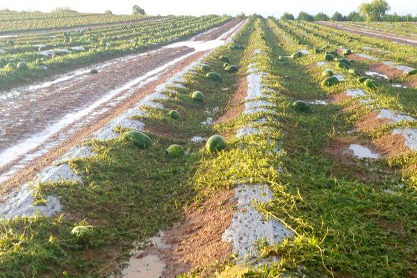 !Crisis en el campo! granizo daña más de 400 hectáreas en Delicias y Saucillo