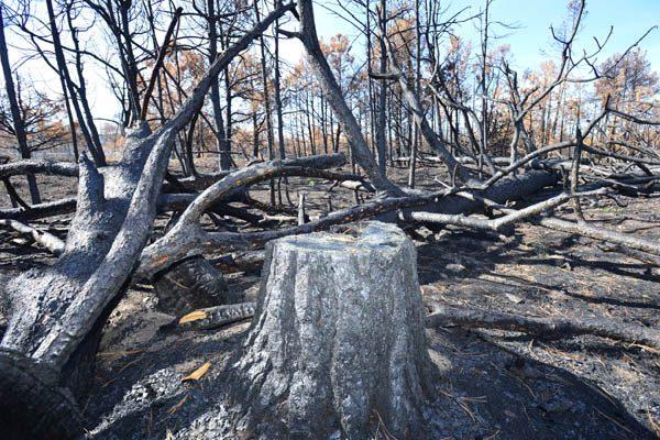 Taladores clandestinos queman los bosques, aun humean los árboles