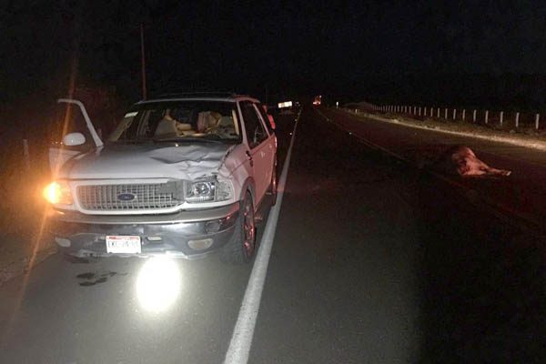 Atropella camioneta a vaca en la carretera corta a Parral