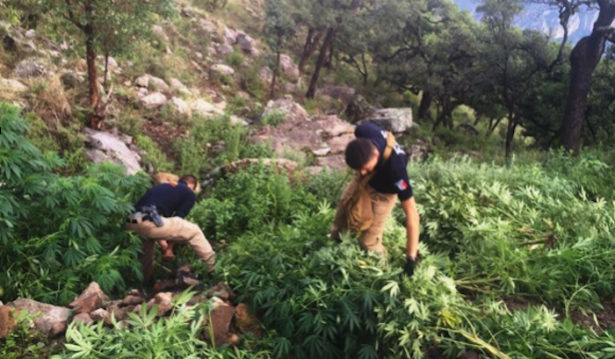 Destruye FGE plantío de marihuana en Guachochi