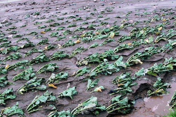 Indemnizan a mil 585 productores que perdieron sus cosechas