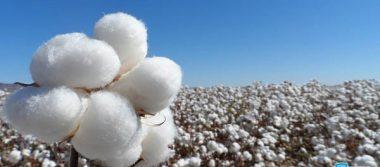 Proyectan algodoneros siembra de 120 mil hectáreas para 2017 en el estado