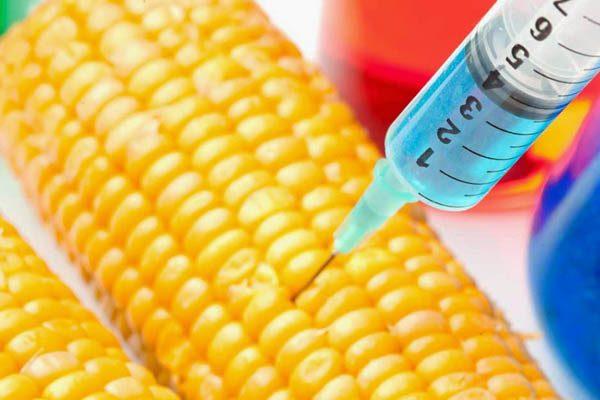 Siembran aquí maíz transgénico pese a prohibición