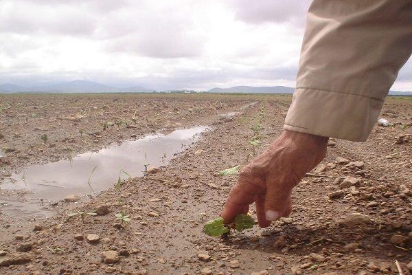 Caerá este año producción de fríjol; se sembró menos