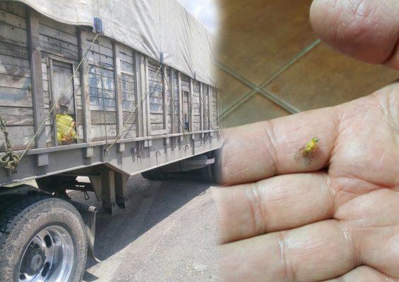 Aseguran cargamento de guayaba y mango infestado con plaga