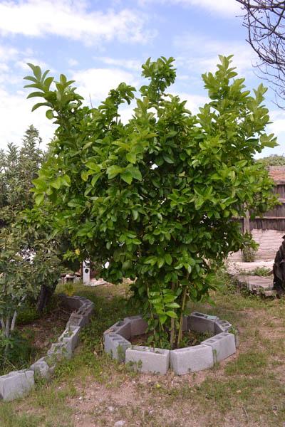 limones-gigantes-nota-indira-14