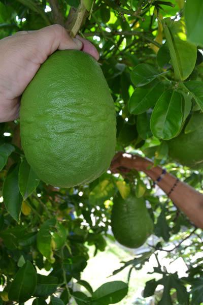 limones-gigantes-nota-indira-7