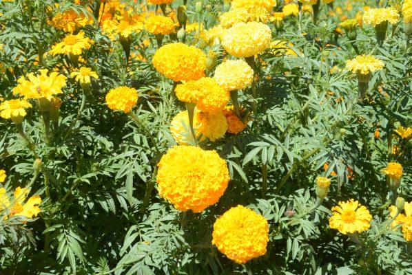 Adornarán cementerios flores de Manuel Calleja; 66 años de experiencia