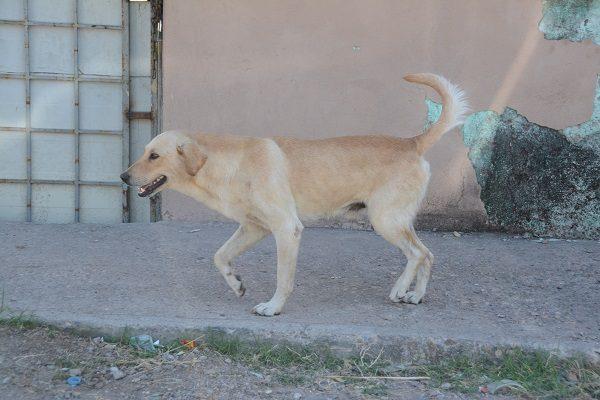 Grave problemática de los perros callejeros, podrían llegar a más de 55 mil