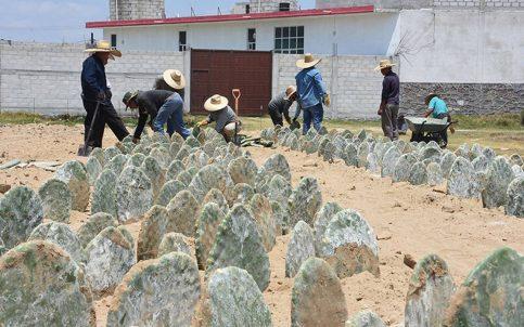 Siembran nopal para recuperar identidad en Santa Ana Nopalucan