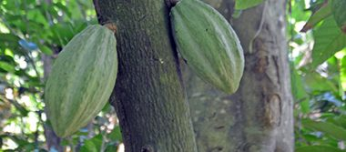 Se desploma producción de cacao por Moniliasis