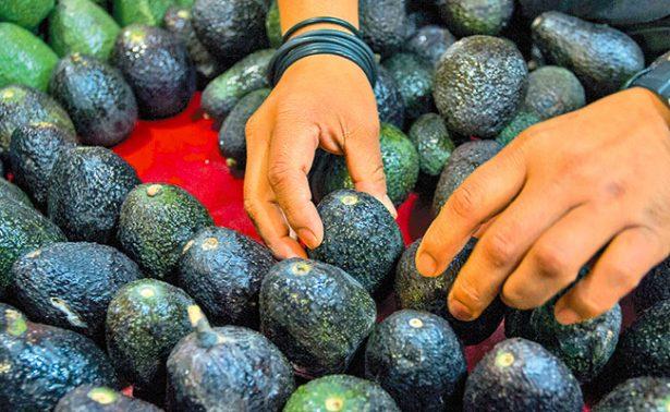 Aguacate afectado por la oferta y demanda en mercados de la República mexicana