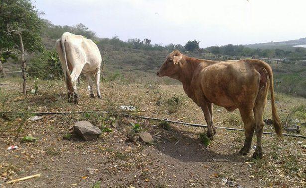 Muere ganado en Altamira por prolongada sequía