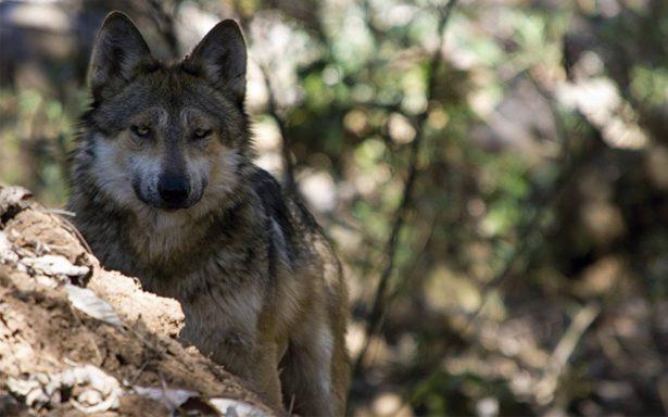 Gobierno del EdoMex busca salvar al lobo mexicano