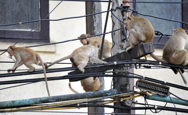 ¿Cómo frenarías una plaga de monos? India busca soluciones